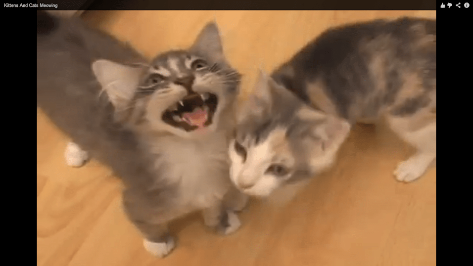 100 cats meowing sounds what they mean
